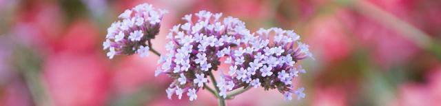 Foto: Im Vordergrund befinden sich kleine lilafarbene Blüten einer Pflanze. Den Hintergrund bilden mehrere Rosenbüsche mit roten Blüten.